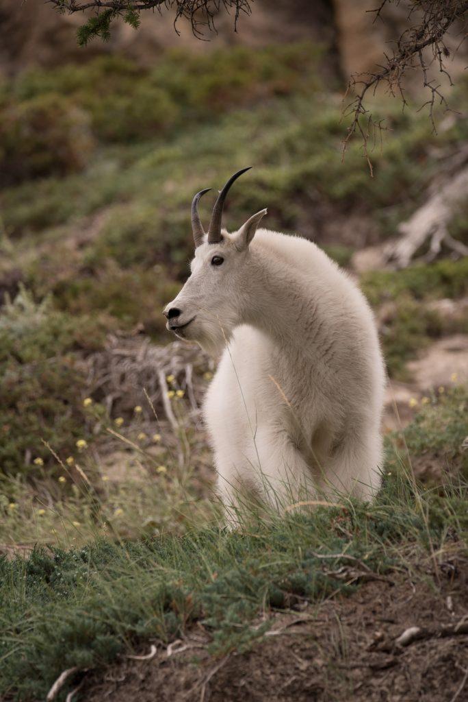 Chèvre des montagnes