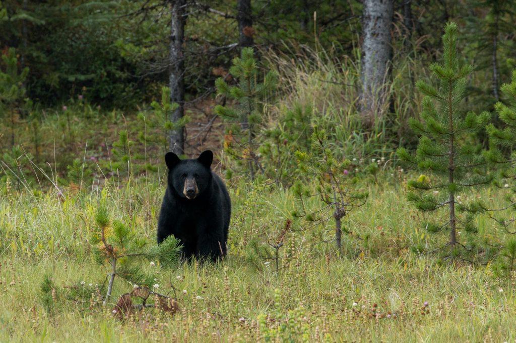 Jeune ours noir