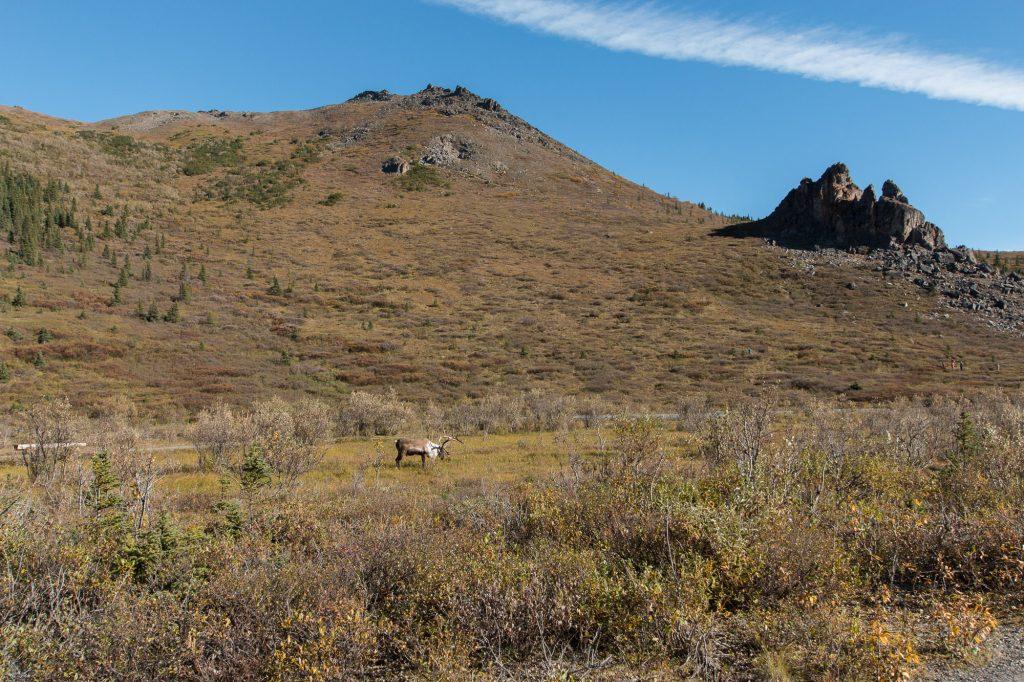 Au loin un caribou