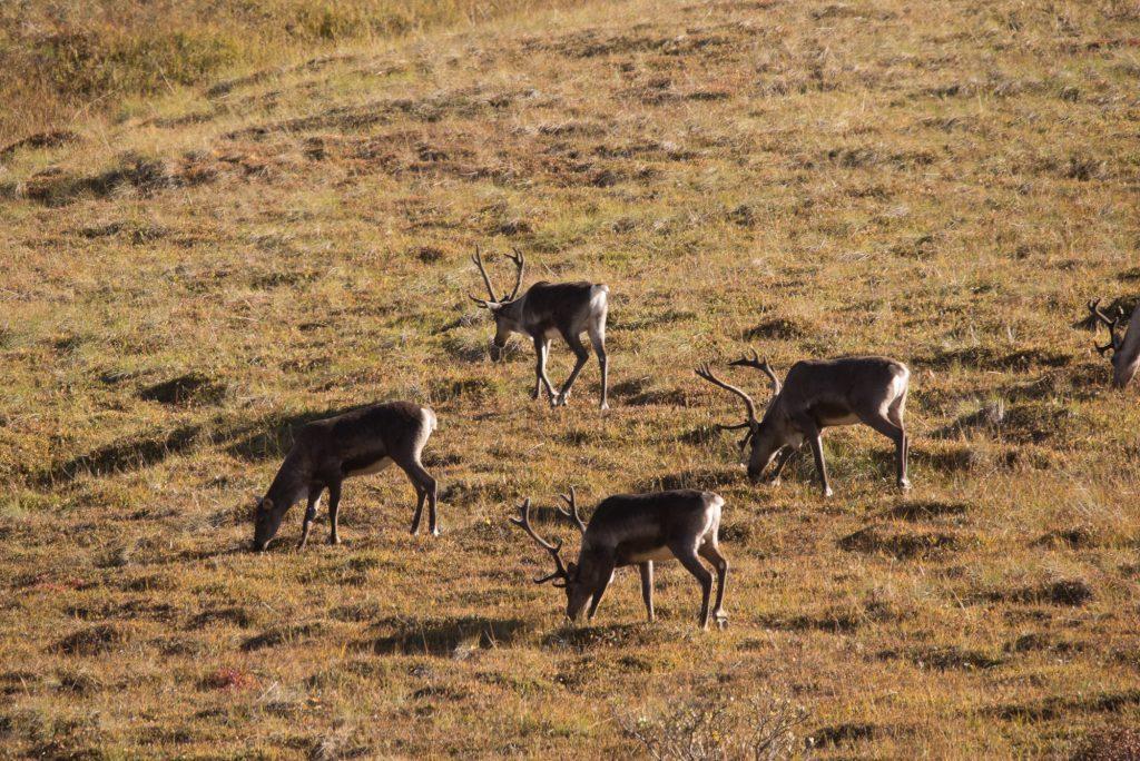 Un clan de caribous