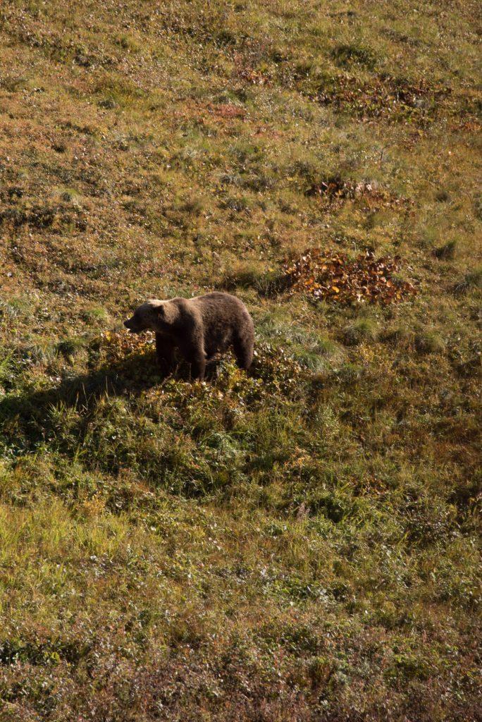 Re un grizzli