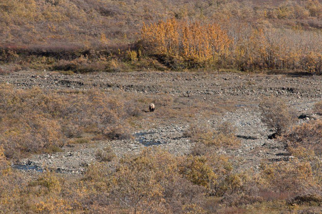 Un grizzli dans la plaine