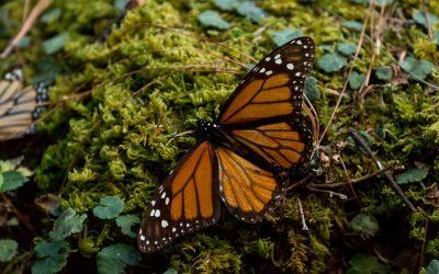 MEXIQUE – MICHOACAN – De Patzcuaro aux papillons Monarques