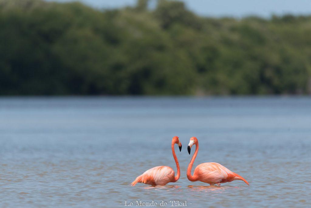 mexique mexico yucatan rio lagartos oiseau bird pink flamingo flamand rose couple