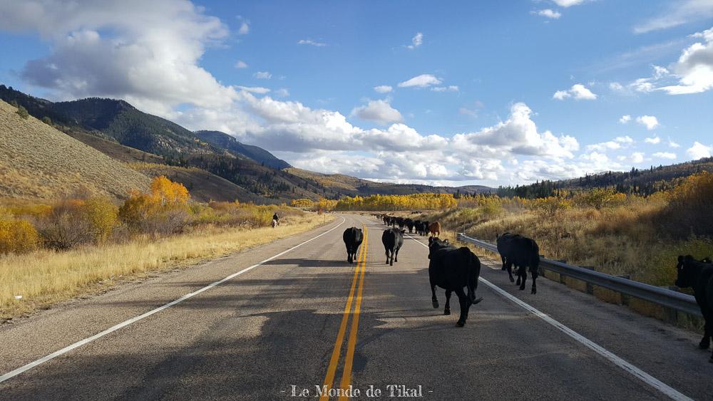 quotidien route road van camion truck vaches cows