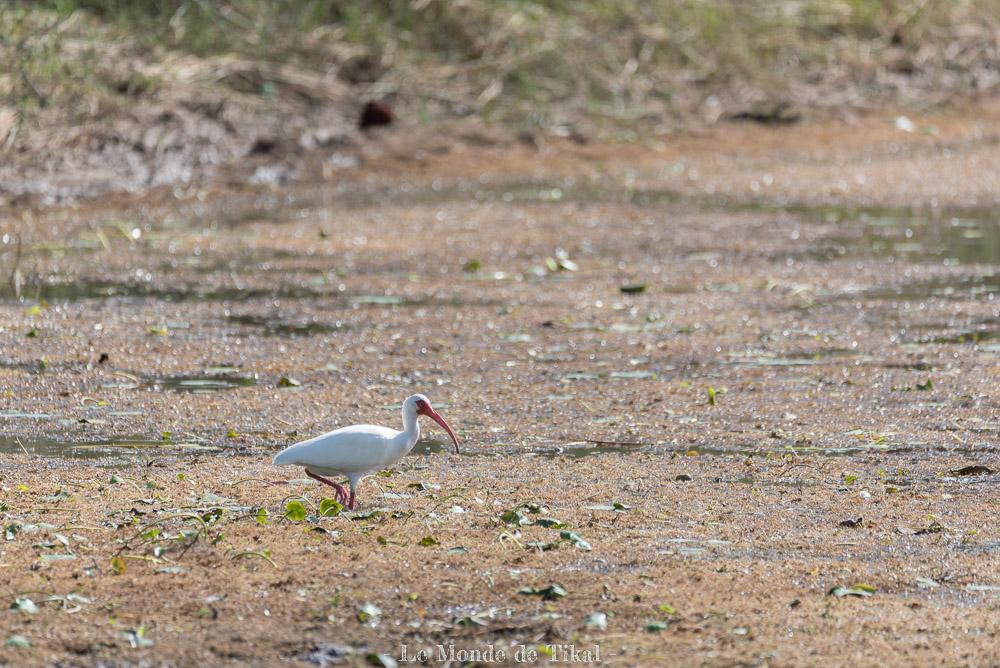 belize creek tree oiseau ibis