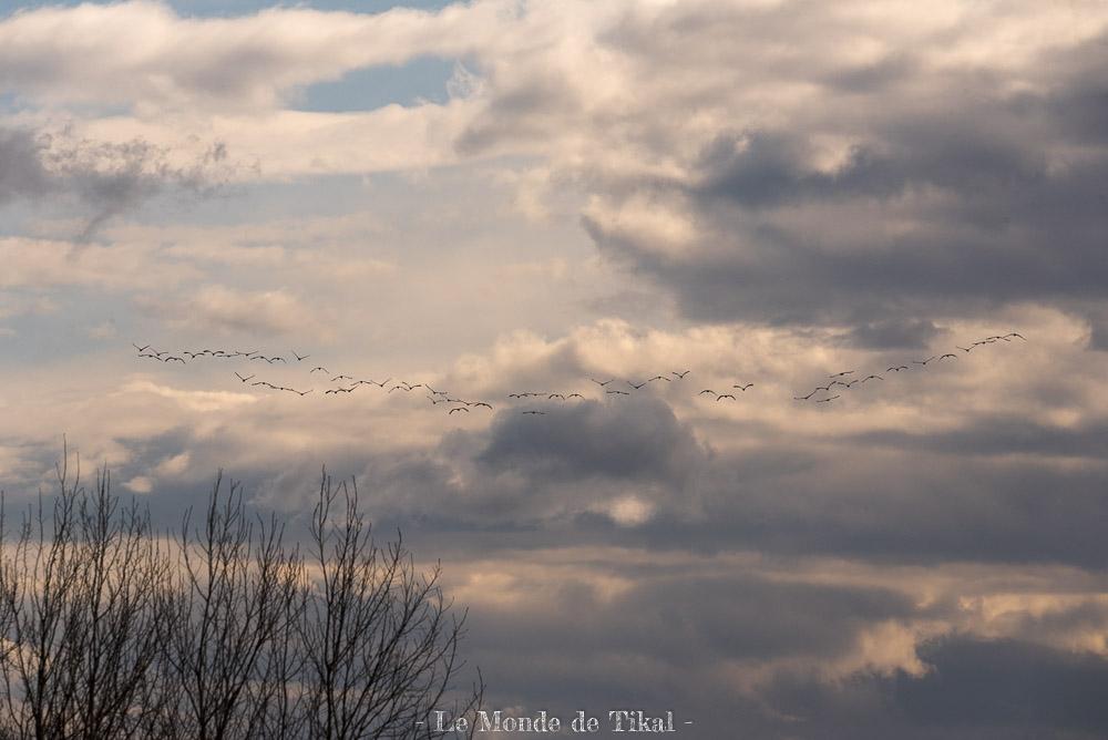 Vol de grues cendrées sur le Lac du Der