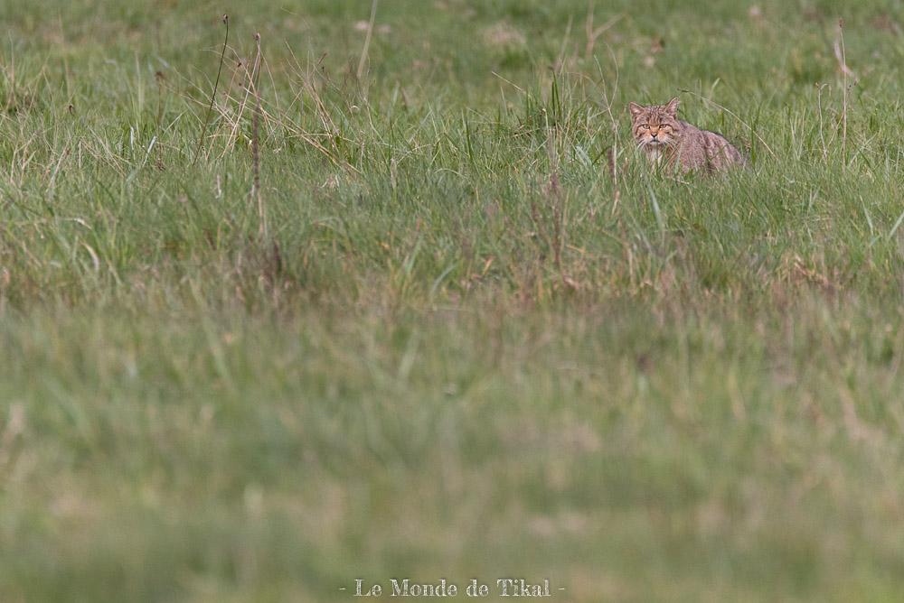 Chat sauvage au Lac du Der