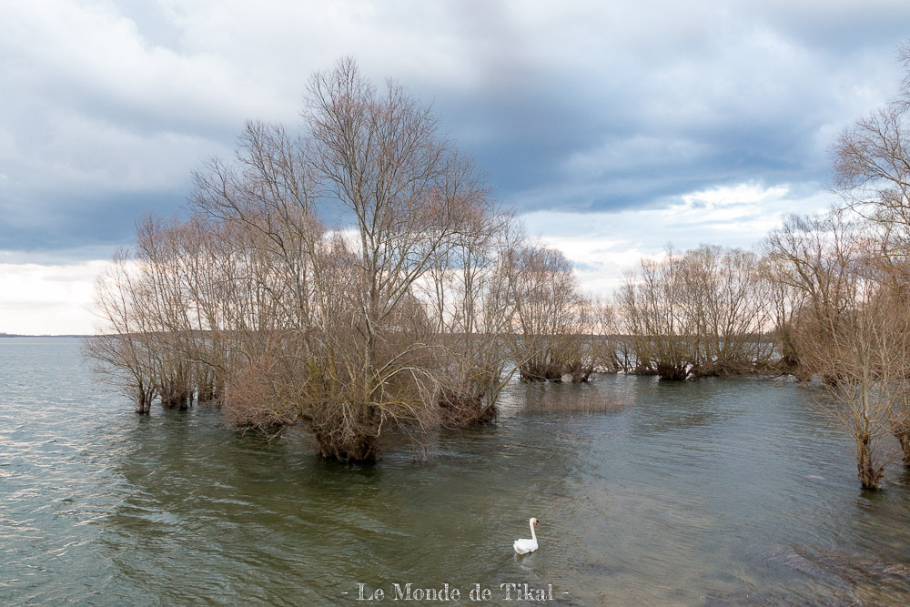 Lac du Der et cygne