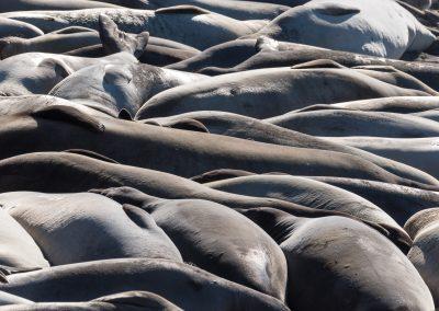 Maree de lions de mer - Californie